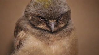 Endangered burrowing owls hatch at Lake Superior Zoo