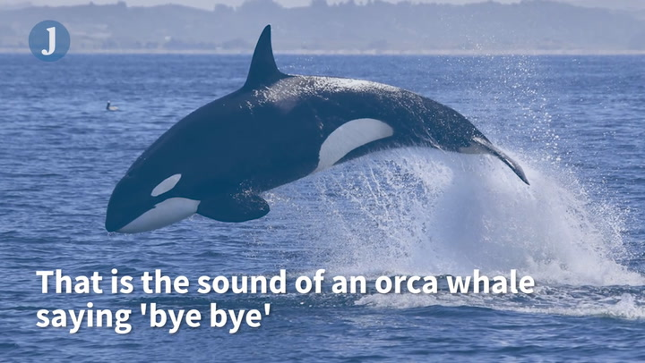 Killer Whales Mimic Human Voices and Other Whales in Strange Recording