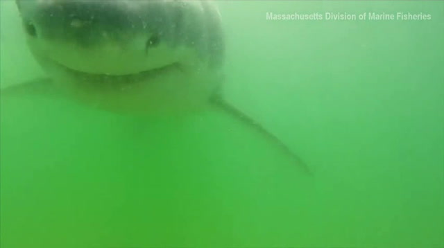 Great White Shark Caught On Camera In Mass.