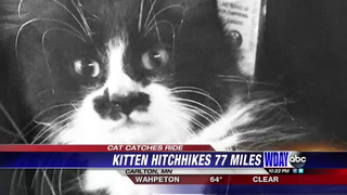 Kitten found after many miles of travel on MN roads