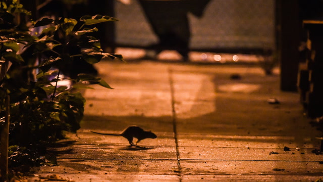 Four reasons for D.C.'s rat boom