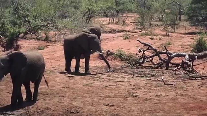 Elephant Repellant Brewed From the Stench of Their Biggest Little Fear