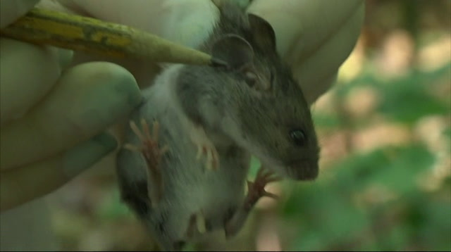 Mice Help Forecast Threat of Lyme Disease Ticks
