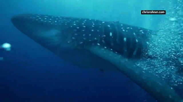 Cracking The Mystery Of The Elusive Whale Shark