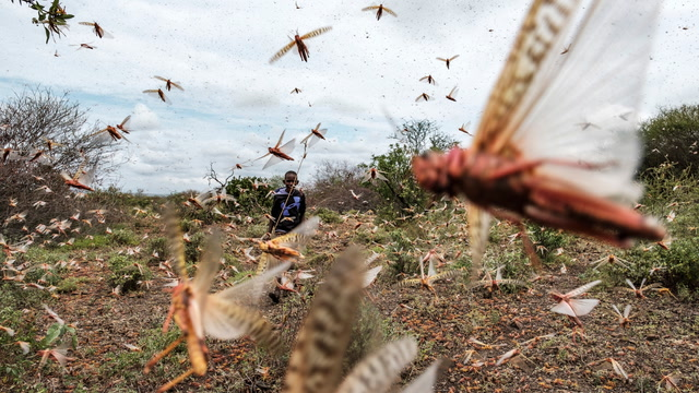 Billions of locusts are descending on Ethiopia