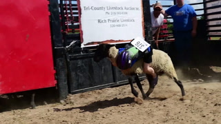 Mutton Bustin Crow Wing County Fair