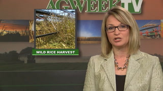 AgweekTV: Wild rice tradition