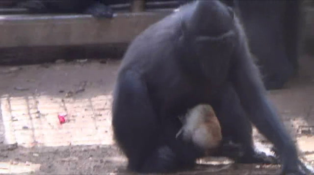 Monkey & Chick Become Inseparable at Israel Zoo
