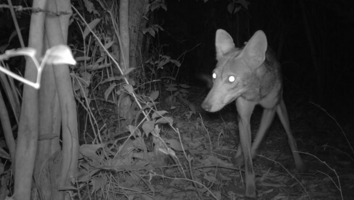 Coyotes Invaded America by Mating With Your Pets, and They're Still At It
