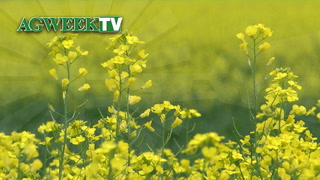 AgweekTV: Canola Research