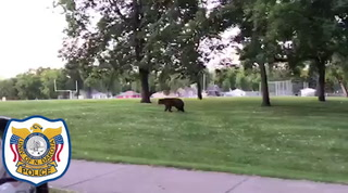 A Grand Forks police officer follows a black bear down a sidewalk at University Park Monday after reports of a bear in a tree near the park. Photo by Eric Hylden/Grand Forks Herald