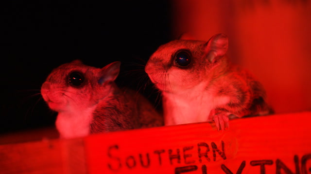 Flying squirrels are nocturnal and hard to spot. Unless you know where to look.