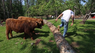 Duluth couple trains Highland steers to help clear logs