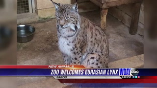 Eurasian lynx. Special to The Forum