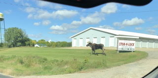 A moose takes a jaunt around Olivia