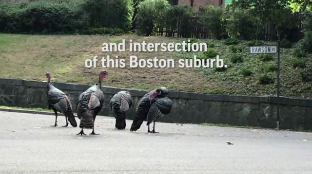 Troublesome Turkeys Annoy Boston Neighbors