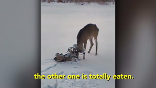 Jake Cosley of Pembina, N.D., managed to free buck the buck at right from the entangled head of a long-dead foe Wednesday afternoon after coming across the deer while snowmobiling on the Red River south of Pembina. (Photo courtesy of Jake Cosley)
