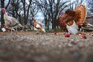 Kornell Erickson has Bourbon red and chocolate turkeys among the many heritage birds he raises on his rural Willmar farm.