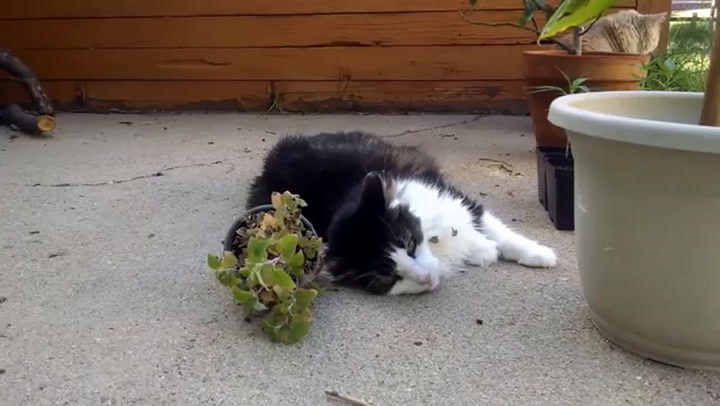 Catnip Isn't Just for Cats: It Can Help Make Human Drugs, Too