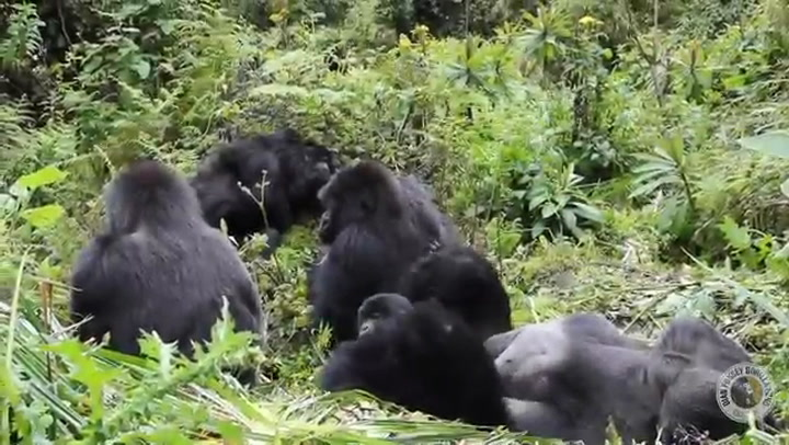 Study Reveals Surprising Reason Why Male Gorillas Bond With Infants