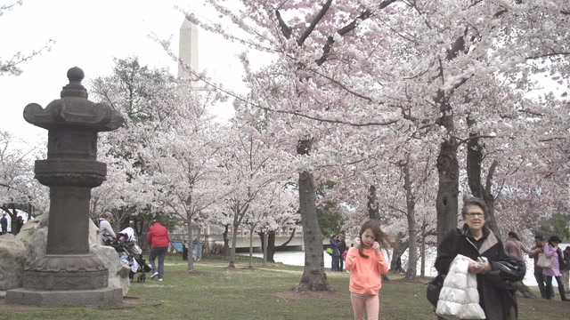High winds hit the Tidal Basin as cherry blossoms near peak bloom