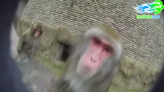 Curious monkeys explore GoPro camera at zoo