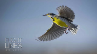 Flight Lines: Western Meadowlark