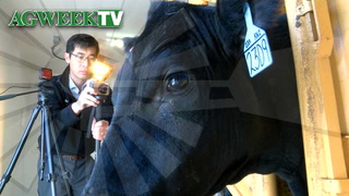 AgweekTV: Cattle stress study at NDSU