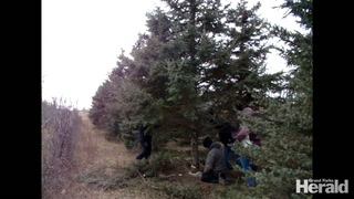 Cutting Christmas trees for tradition -- and a cause