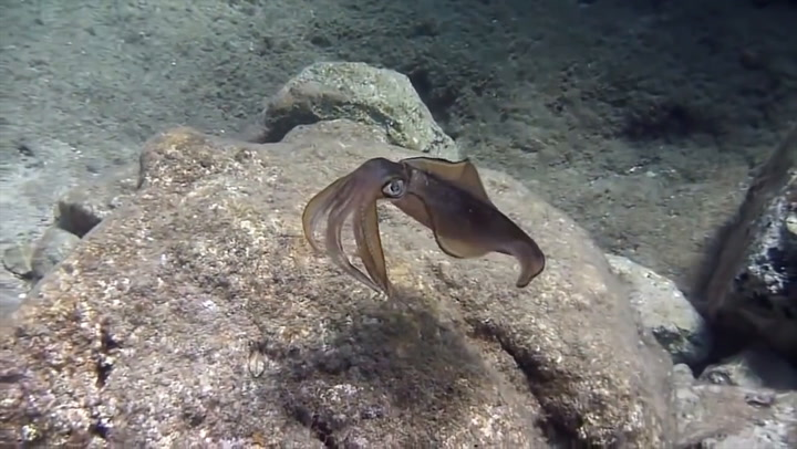 The Secret To Invisibility Has Been Hiding In The Skin Of Squids