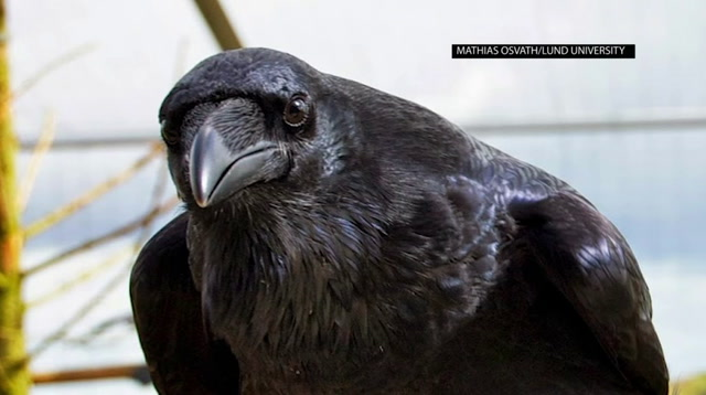 New Research Shows Ravens Can Plan for Future