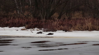 Otters off Park Point