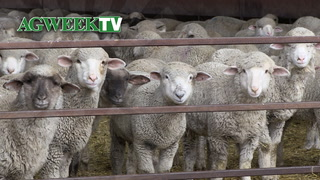 AgweekTV: Sheep Interest Growth